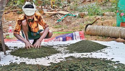 Declining pepper price puts growers in south India in stress