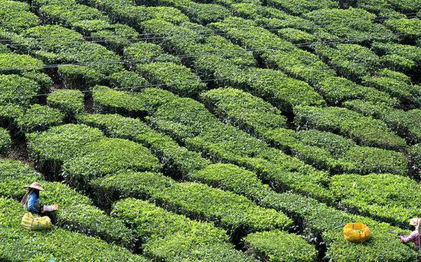 Tea exports down by 14% in first 7 months of 2021