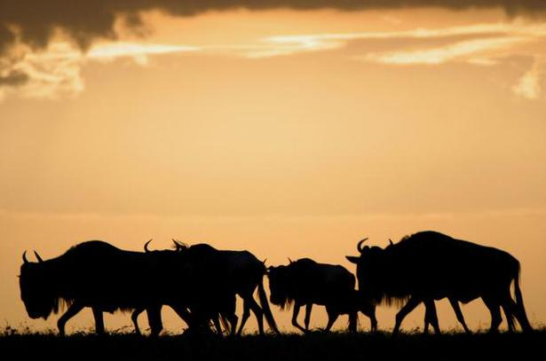 NATURALLY PHENOMENAL: The Wildbeest in Africa. Photo: AP