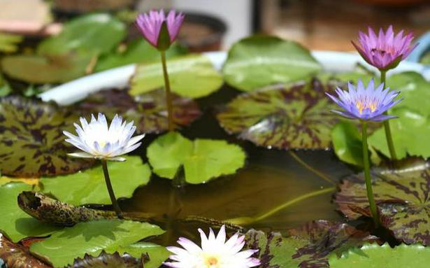 Why hobbyists of aquatic plants love growing greens under water