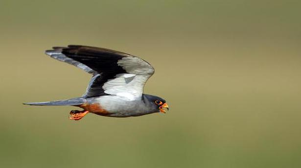 Rare sightings of migratory birds in Coimbatore