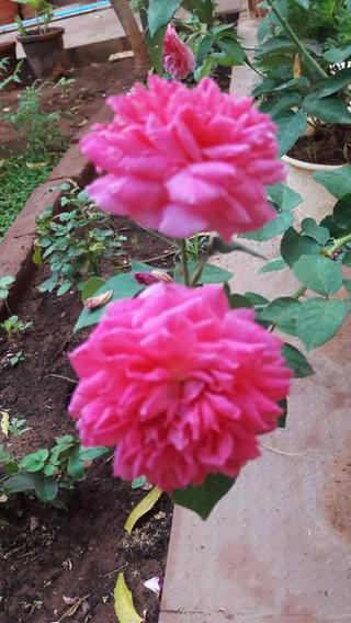 Five Flowers That You Can Eat The Hindu