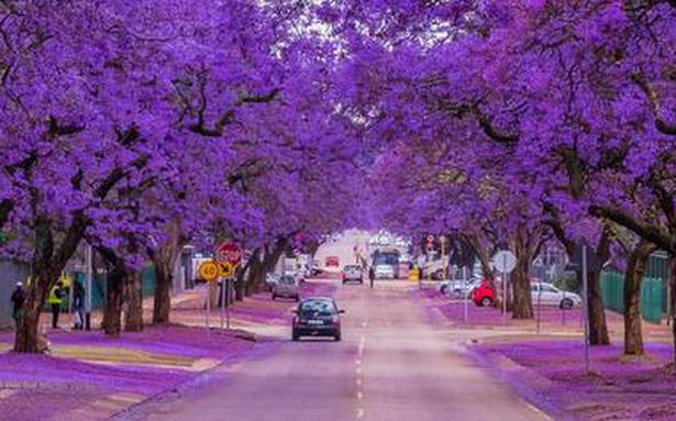 Cities of South Africa radiate purple with the Jacaranda in bloom