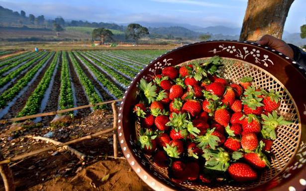 In Visakhapatnam's Lambasingi village, strawberry picking emerges as a winter attraction that draws in crowds