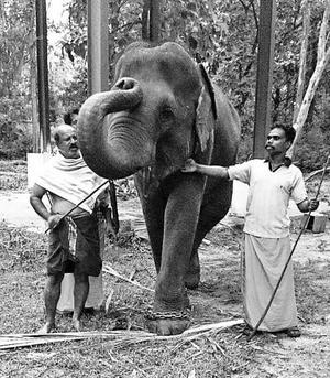 Female ♀ Asian elephant (Elephas maximus) Masini at Samayapuram Sri Mariamman Temple