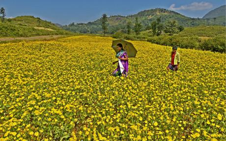 Yellow carpet of araku valley the hindu 10 mightylinksfo