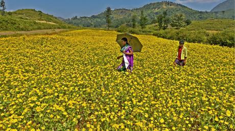 Yellow carpet of araku valley the hindu 10 show all 10 show all yellow flowers mightylinksfo
