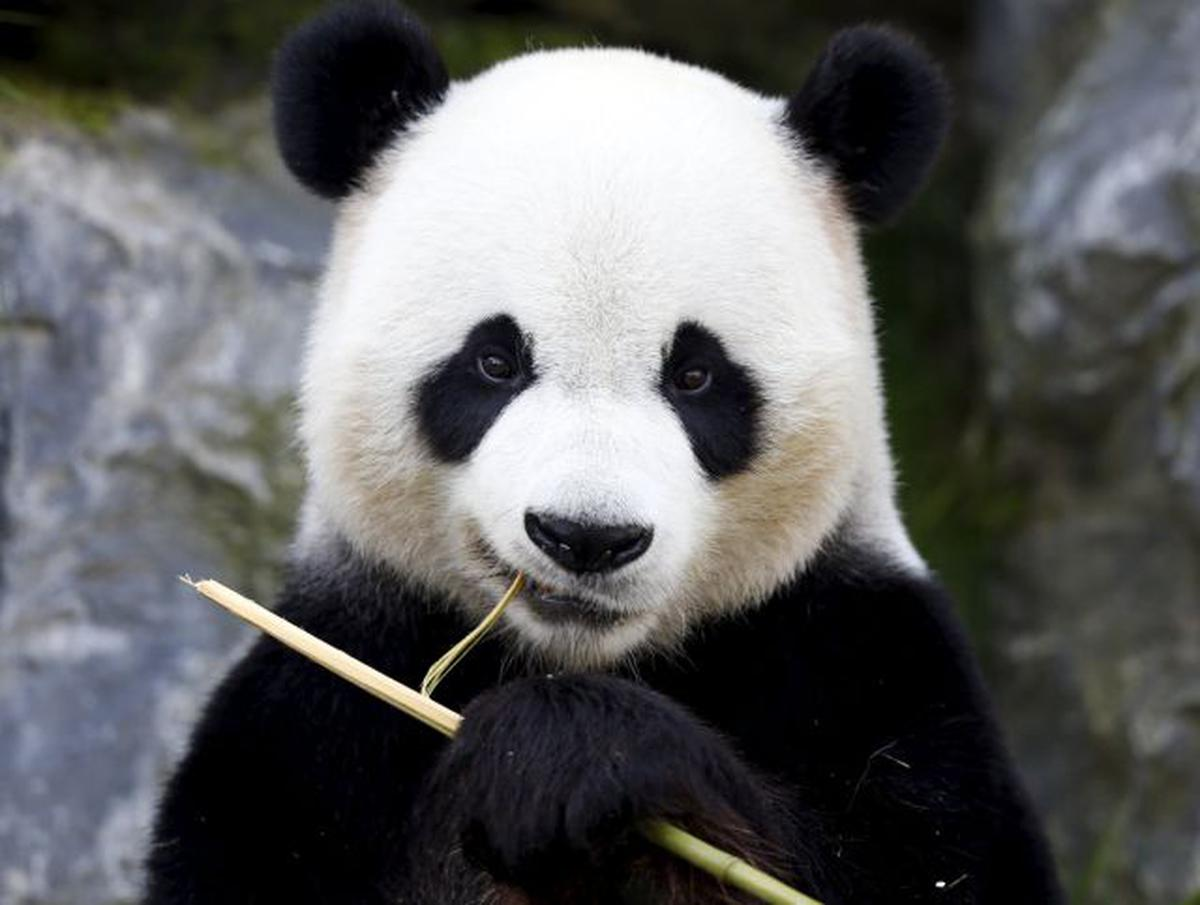 wild pandas in china turn carnivorous fight for meat the hindu. Black Bedroom Furniture Sets. Home Design Ideas