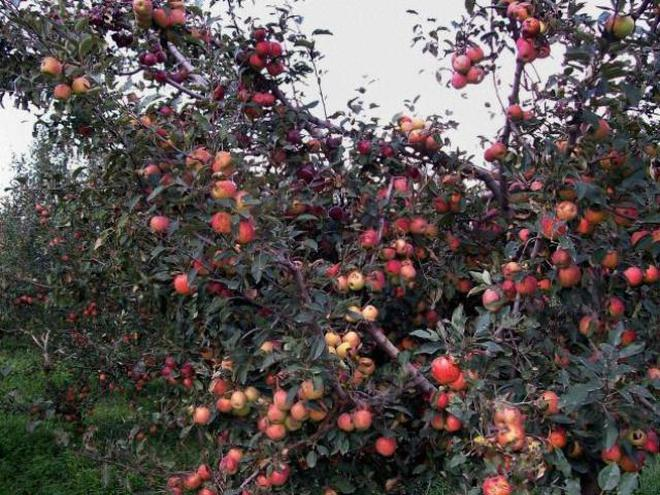 apple season begins in himachal pradesh the hindu the average production of apple is around 5 lakh tonnes or 2 5 crore boxes every year