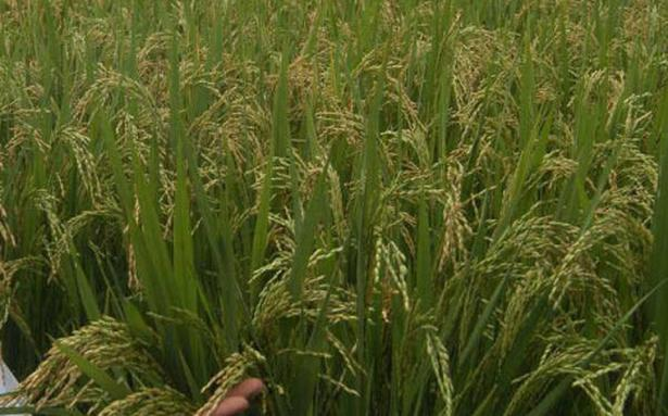 thesis on aerobic rice Aerobic rice has the advantage of saving water most published work has focused on improving its yield, while few reported on its micronutrient status.