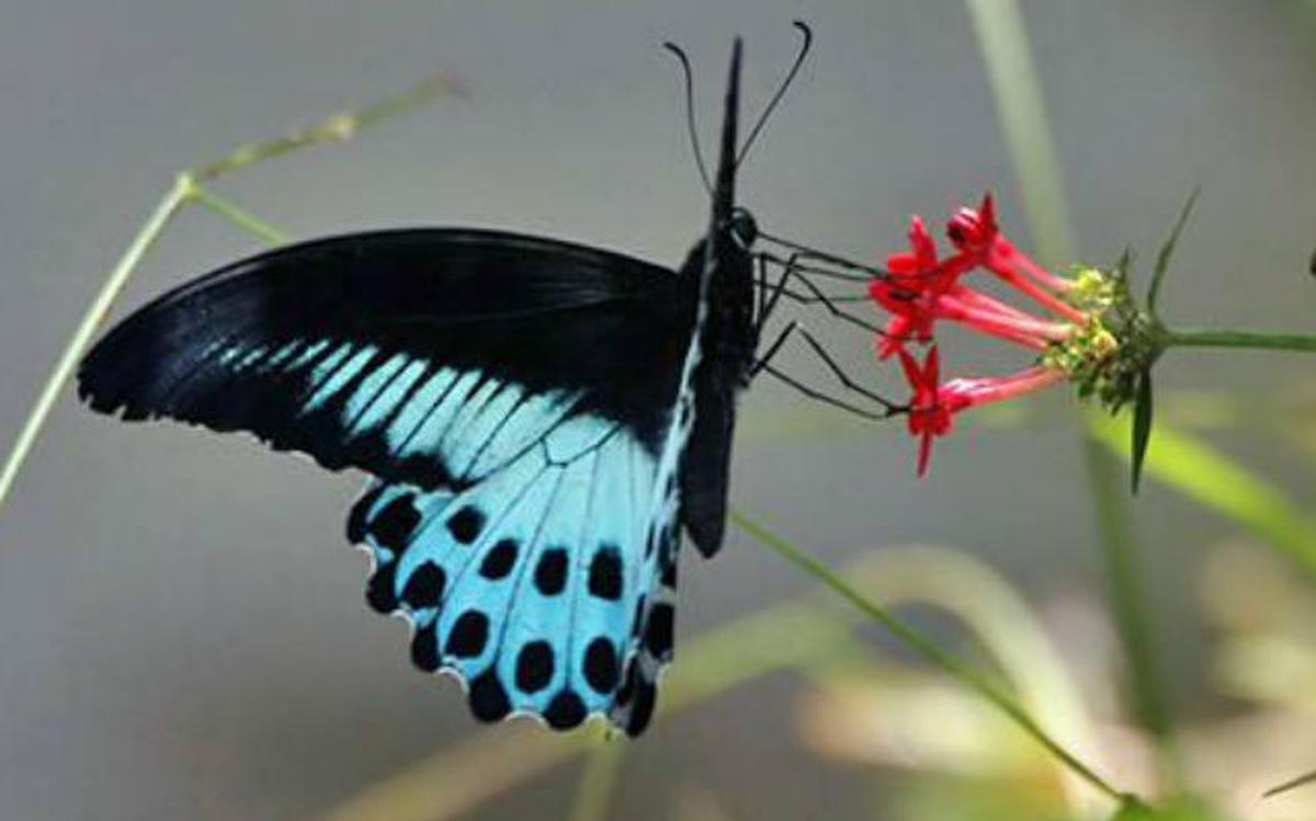 Maharashtra gets 'State butterfly' - The Hindu