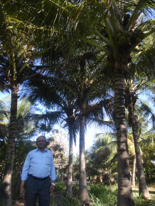 Try this planting method for better yield in coconut - The Hindu
