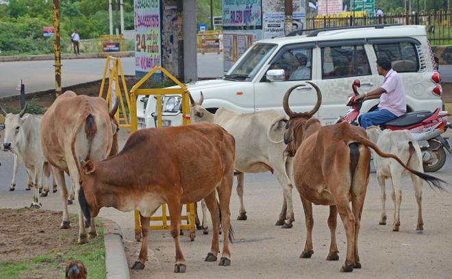 Image result for cows on trichy road