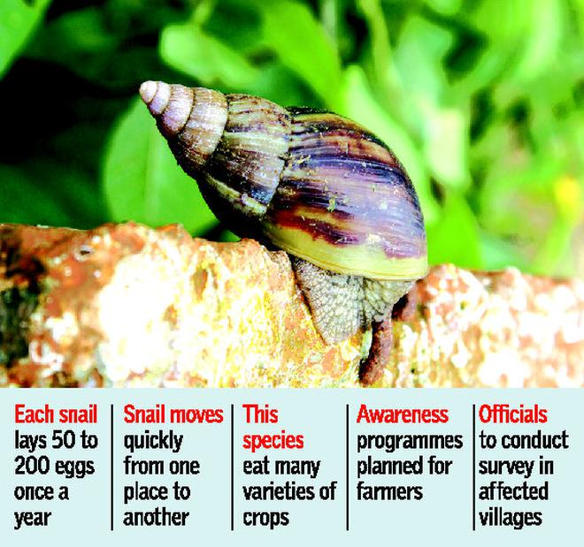 African giant snails spotted in mandya villages karnataka the hindu african giant snails spotted in mandya villages freerunsca Gallery