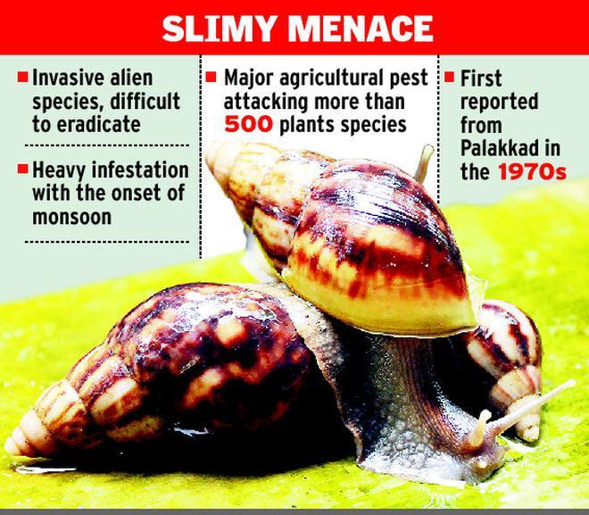 African snails tighten grip on kerala the hindu african snails tighten grip on kerala freerunsca Gallery