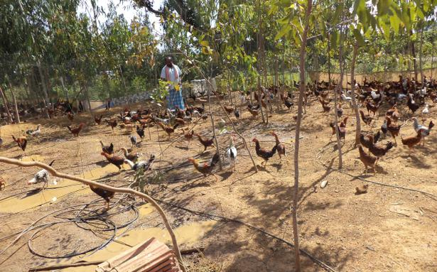 Semi Intensive System For Backyard Poultry Fetches Good Dividends   The  Hindu