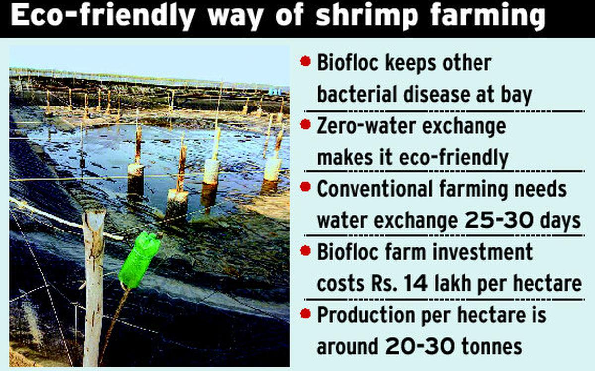 Eco-friendly shrimp farming with 'biofloc' - The Hindu