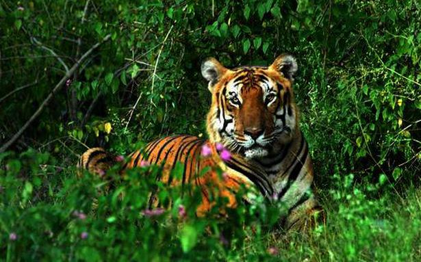 tiger mauls forest watcher in nagarahole national park