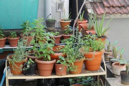 Herb Gardening At Home The Hindu