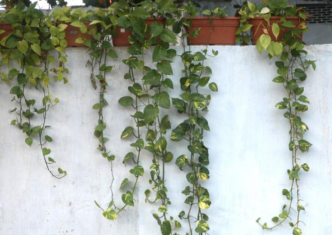 Versatile Money Plants Can Be Creepers Or Even Grown On The Ground Photo