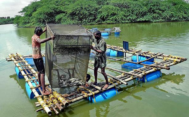Low cost cages a boon to fish farmers tamil nadu the for Tp fish market