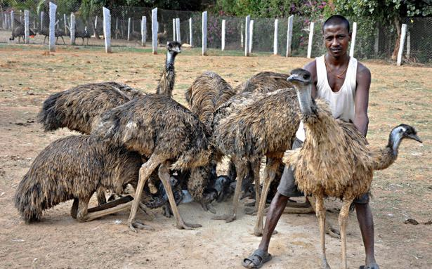 Emu Farmers Hope That The Fledgling Industry Takes Off