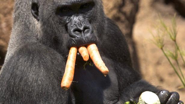 Gorillas Diet May Ward Off Cancer The Hindu