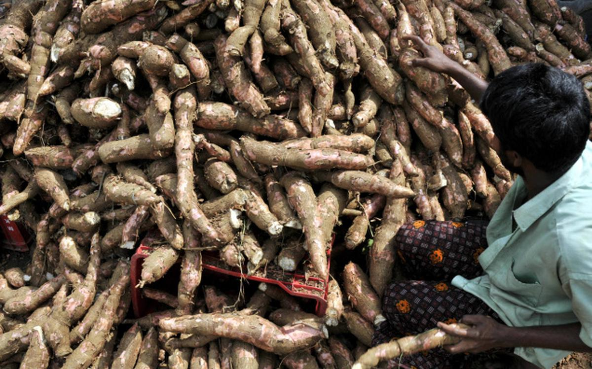 Improving cassava, the bread of the tropics - The Hindu