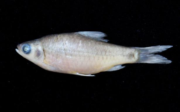 New fish species discovered the hindu for New fish discovered
