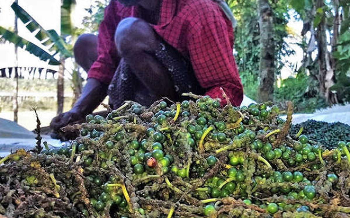 Black Pepper price likely to rise: study - The Hindu