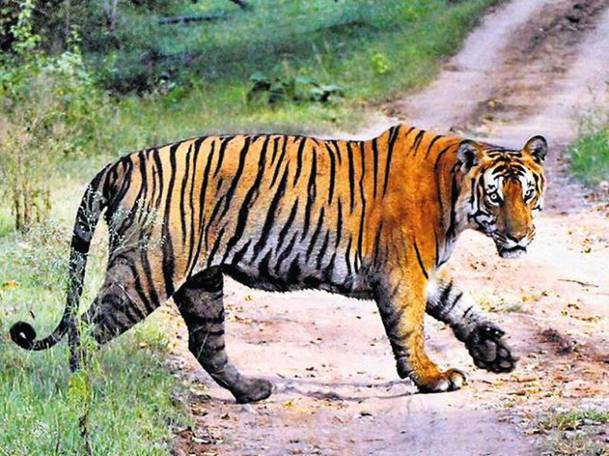 Why do we need to save the tiger? - The Hindu