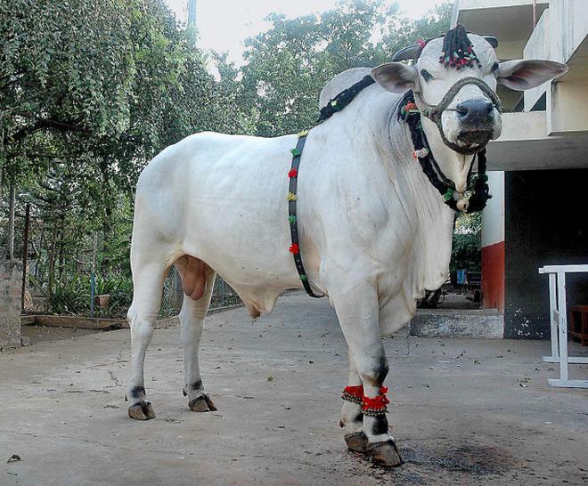 brazil keen on saving the ongole bull the hindu