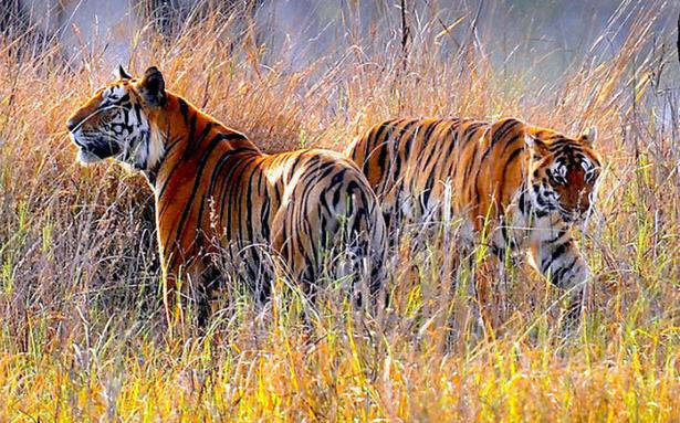 Country Gets Its First Tiger Repository The Hindu