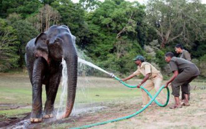 Elephant In Musth