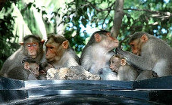 LYING IN WAIT A Group Of Monkeys Perching Atop Public Drinking Water Tank At