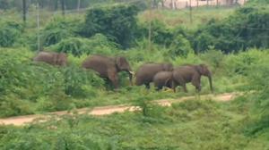 Elephants damage transformer