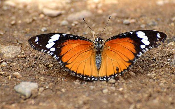 No Butterfly Migration At Anaikatty Hills The Hindu