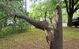 Sandalwood tree damaged in gale and rain, say police