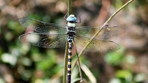 More species of butterflies, dragonflies recorded in Coimbatore