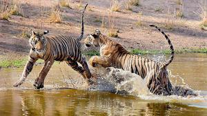 Lensman strikes gold with Bandhavgarh tiger cubs' photo