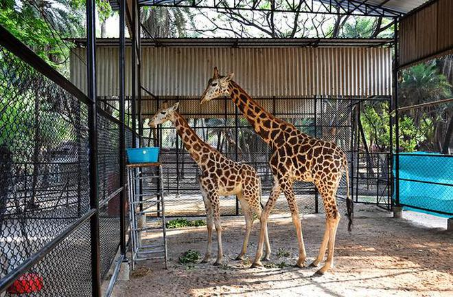 Bubli and Sunny, the two giraffes, will be kept in quarantine for four weeks, before being released into a newly-designed enclosure for public display.