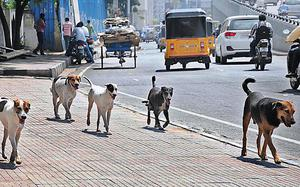Stray dogs 'poisoned' in city again