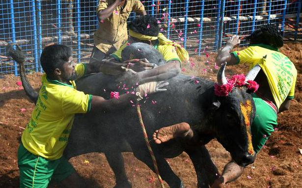 Jallikattu begins in Madurai, 71 injured