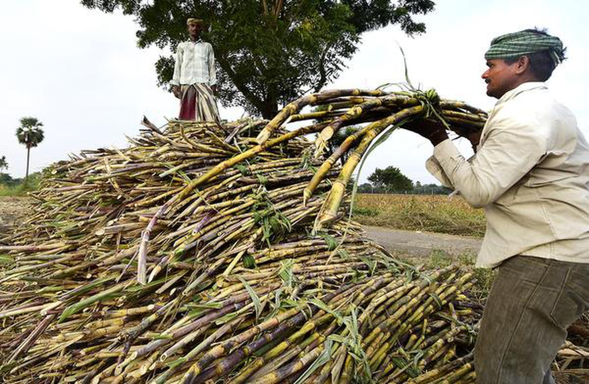 Water shortage hits sugarcane yield