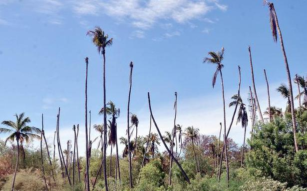 Drought takes a heavy toll on coconut trees