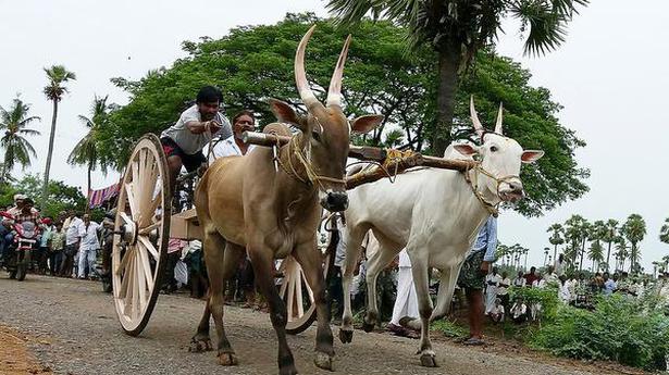 Oxen race enthrals Diviseema farmers