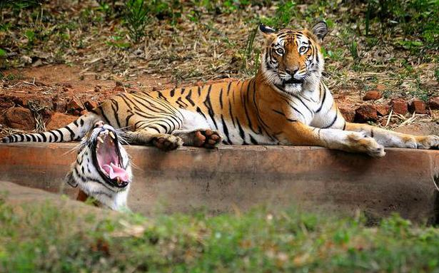 India Retold Raju And Pakistan Getting The Tiger - Imagez co