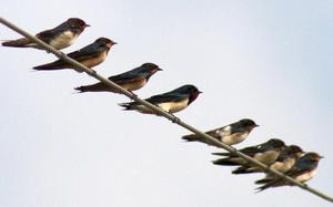 Barn swallows can get rid of mosquitoes