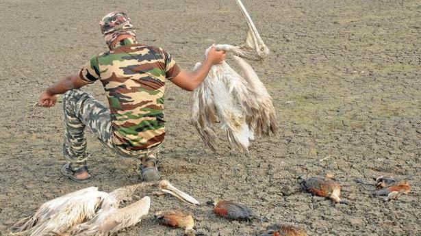 At Oussudu Lake, birds fall prey to poisonous fish
