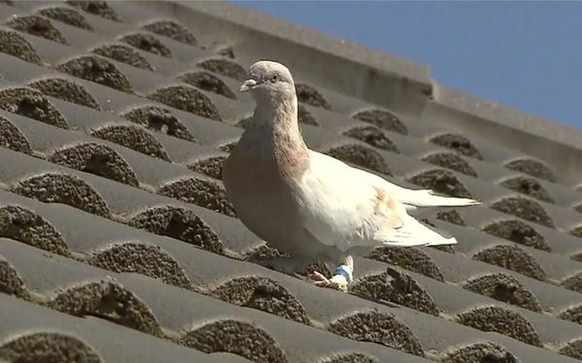 Australia to kill the racing pigeon that crossed Pacific from Oregon - The Hindu